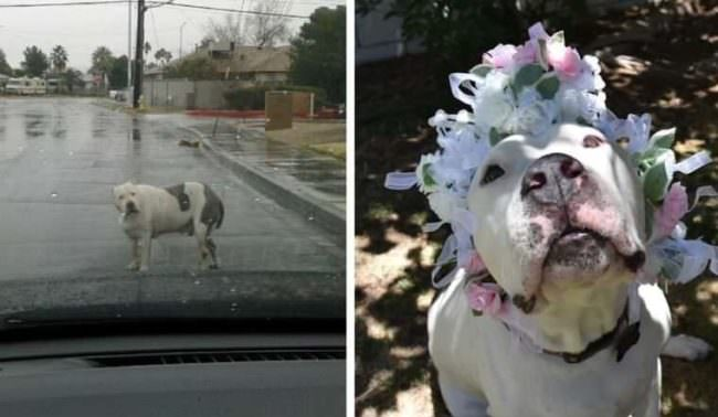 Formerly A Breeding Machine, This Obese Dog Transformed Into A Fit Beauty