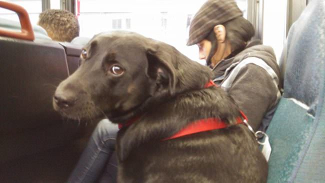 Seattle Dog Rides The Bus To The Dog Park All By Herself