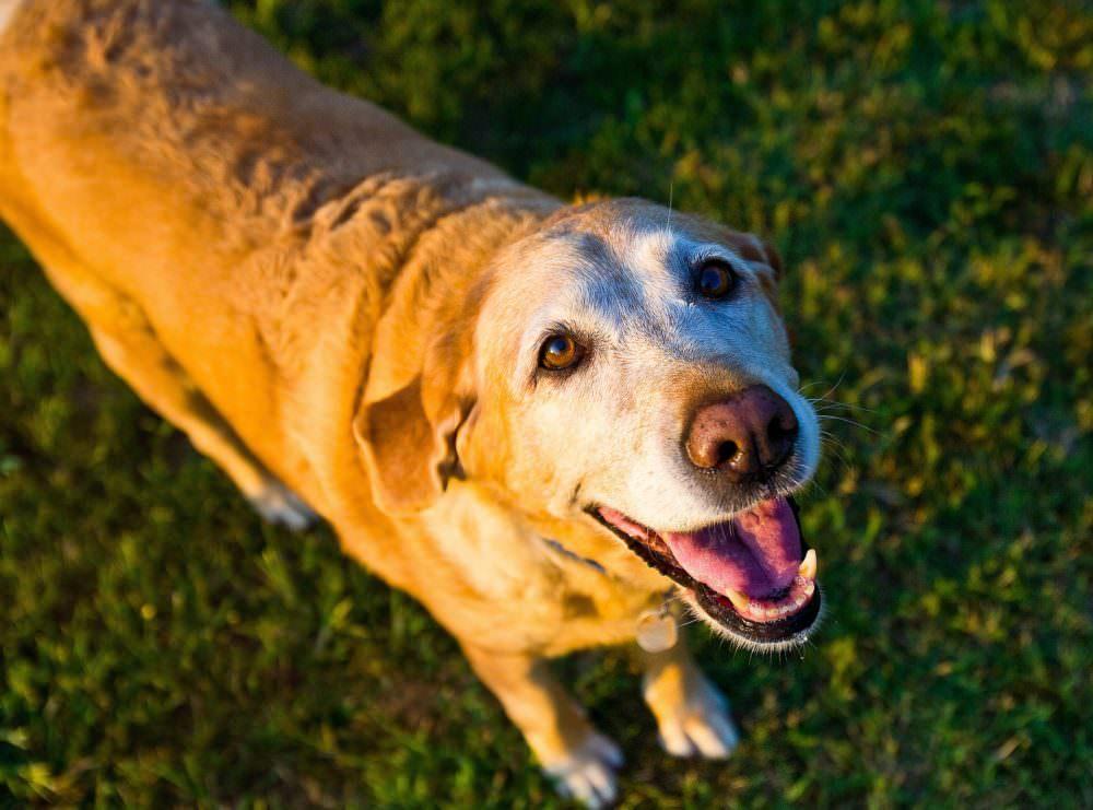 Ask A Vet Can My Dog Get Alzheimer S Disease