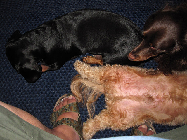 Resultado de imagen para dachshund sitting on your feet