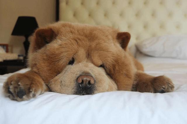 Chowder The Bear Dog Breed