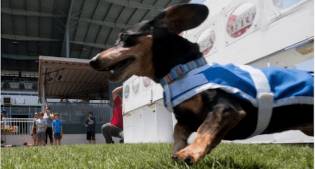 Once-Paralyzed Dachshund Runs In Wiener National Race