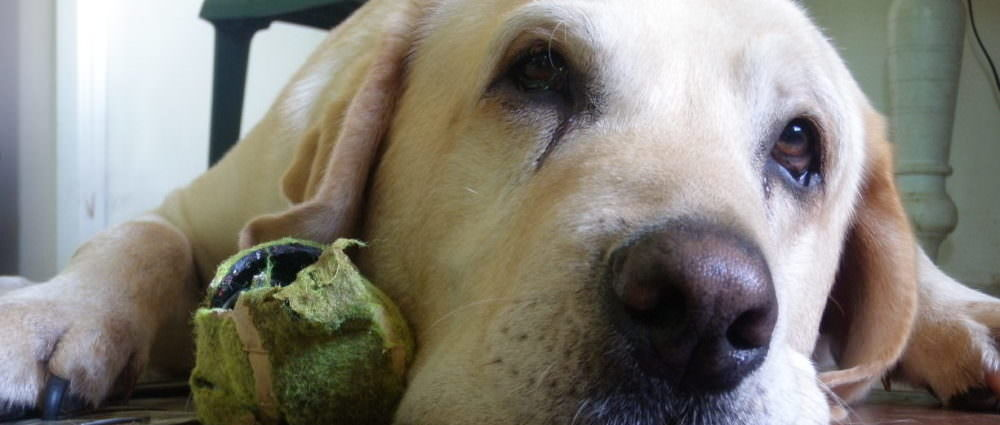 dog with destroyed tennis ball