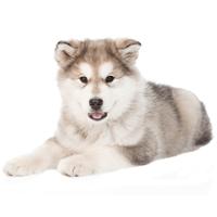 Breed: Alaskan Malamute