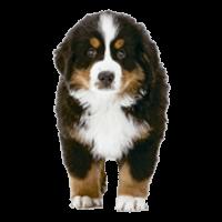 Breed: Bernese Mountain Dog