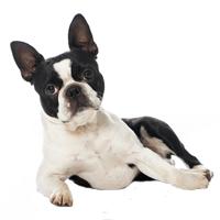 Breed: Boston Terrier