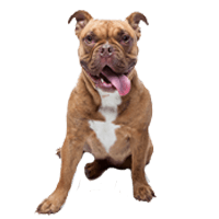 Breed: Bulldog