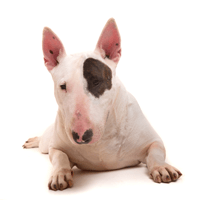 Breed: Bull Terrier