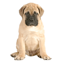 Breed: Bullmastiff
