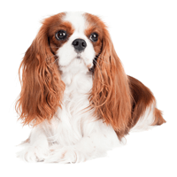 Breed: Cavalier King Charles Spaniel