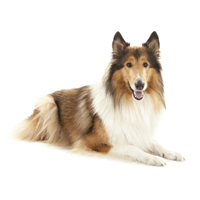 Breed: Collie