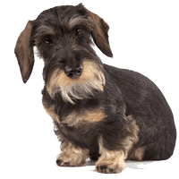 Breed: Dachshund