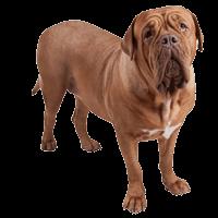Breed: Dogue De Bourdeaux