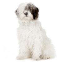 Breed: Old English Sheepdog