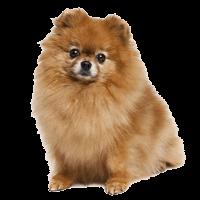 Breed: Pomeranian