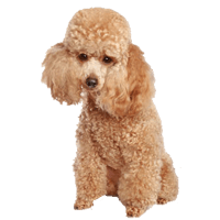 Breed: Poodle
