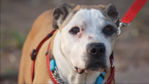 Stolen Service Canine Taken 1,700 Miles Away Returns Dwelling After three Years
