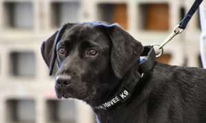 Canine Skilled By CIA Decides That Sniffing Bombs Simply Isn't Her Factor