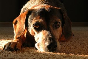 6 Indicators Of Diabetes All Canine Homeowners Ought to Be Conscious Of
