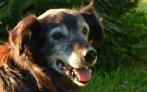 The 7 Greatest Dietary supplements for Senior Canines