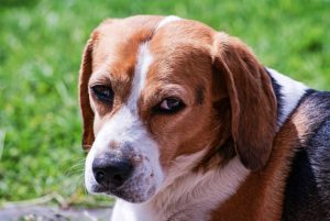 What Are Ear Hematomas In Canine?