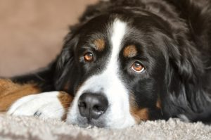 The Hidden Risks Of Salmon Oil For Canines