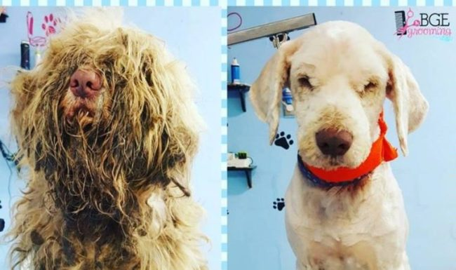 Image result for Groomer Opens Shop At Midnight To Care For Severely Matted Stray