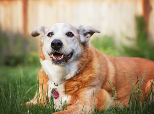 Smiling Senior Dog on Grass