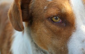 What Causes Pink Eye In Canines?