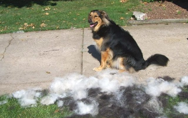What Is Coat Blow & Will It Affect Your Dog?