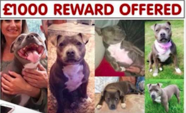Family Desperately Searches For Dog Who They Fear Was Stolen For Fighting