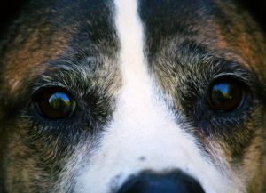 Canine Developed To Stare Into Our Eyes – As a result of It Makes Us Really feel Good