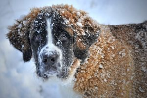 11 Canine Breeds That Had been Made For Winter Climate