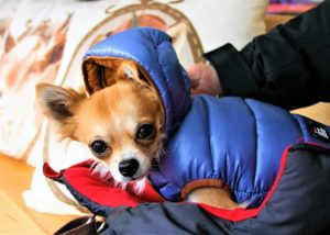 10 Canine Breeds That Are Delicate To Chilly Climate