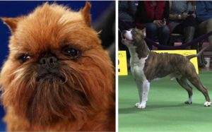 A Wookiee Lookalike & An Underdog Rating Huge At Nationwide Canine Present