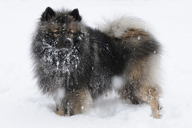 Keeshond And Cats 11 Dog Breeds T...