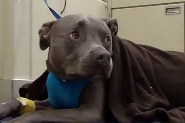 Pit Bull Survives Attack By Family Of Bears In South Florida