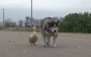 Unlikely Mates Max And Quackers Carry Pleasure To A Small City