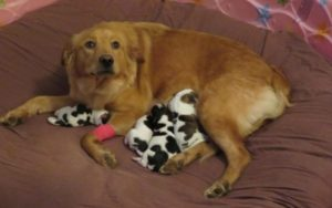 Rescued Mama Canine Provides Start To A Litter Of … Cows?