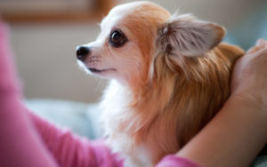 15 Fabulous Presents For The Chihuahua Lover On Your Record