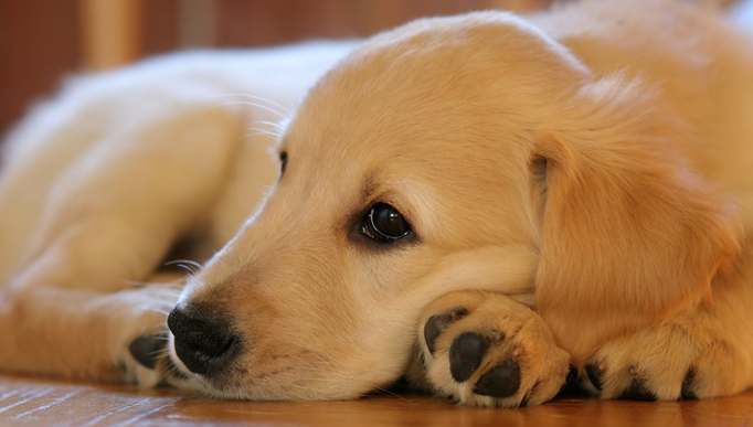 If You've Observed Your Golden Retriever Is Slower to Get Up, Start This Routine Instantly!