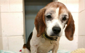 Candy Senior Canine Is Wanting For A Loving Residence To Spend His Final Vacation Season