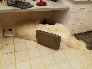 Canine Indulges Himself After Sneaking Into Meals Container