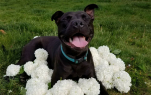 Pit Bull Ban Forces Girl To Give Up Her Service Canine