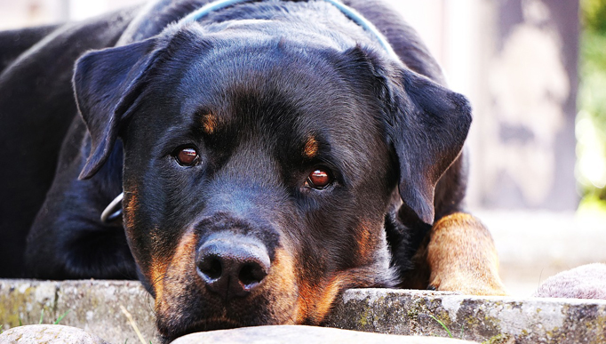 If You've Noticed Your Rottweiler Is Slower to Get Up, Begin This Routine Immediately!