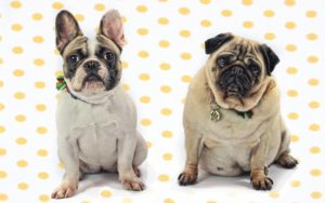 Welfare Teams: Recognition Of Bulldogs & Pugs In Advertisements Is Dangerous To The Breeds