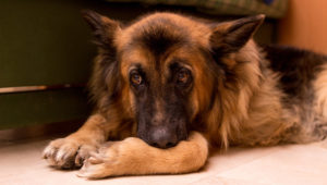 If You've Observed Your German Shepherd Is Slower to Get Up, Start This Routine Instantly!