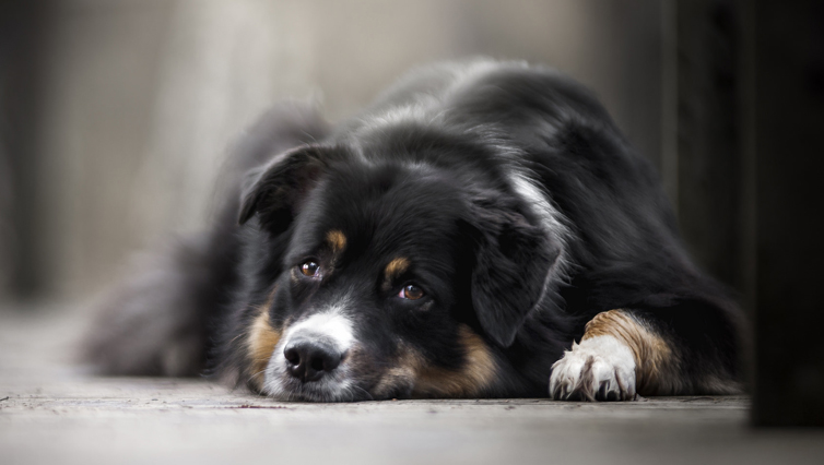 Choosing The Best Joint Supplement for a Australian Shepherd – 6 Things You Must Know