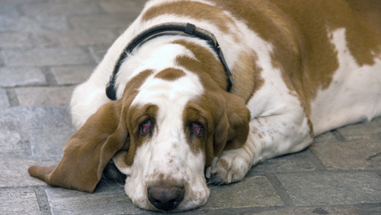 Choosing The Best Joint Supplement for a Basset Hound – 6 Things You Must Know