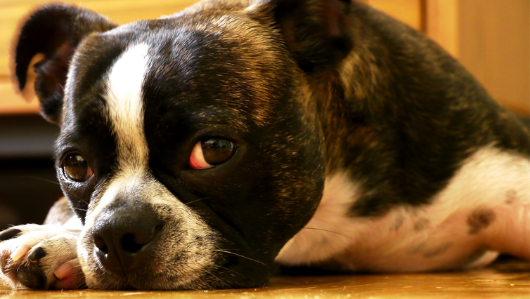 Choosing The Best Joint Supplement for a Boston Terrier – 6 Things You Must Know
